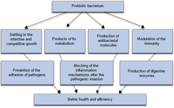 Mechanisms implied in the positive effects of probiotics on the animals' growth and health