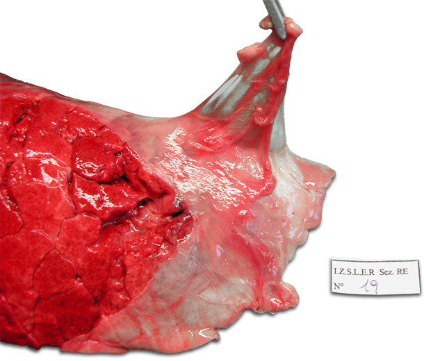 Left lung of a pig. Chronic dorso-caudal pleuritis involving the cranial part of the diaphragmatic lobe. Characteristic stripping of the pleura.