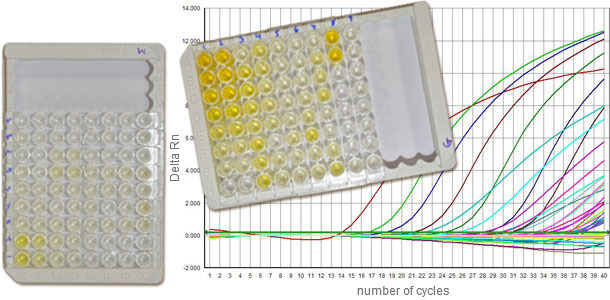 Serologies against PCV2 normally distinguish between IgM and IgG, and q-PCR gives us information about the viral load