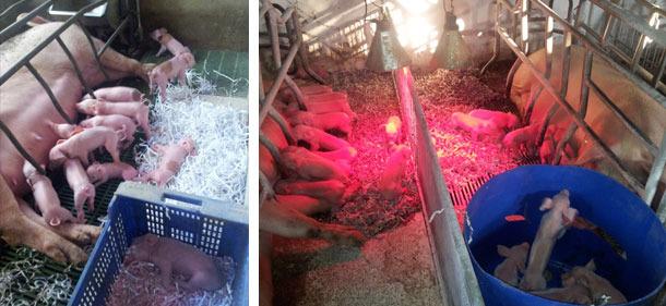 Nests for piglets