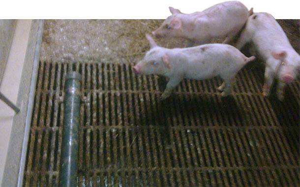 PVC pipe for avoiding defecations in the trough