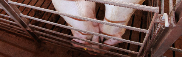 Nose-to-nose contact between pigs
