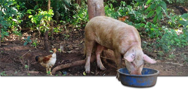 Backyard pig in Gulu, Uganda, where ASF outbreaks regularly occur.