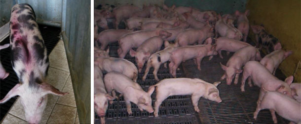 Anorexic and lethargic piglets seen during the visit