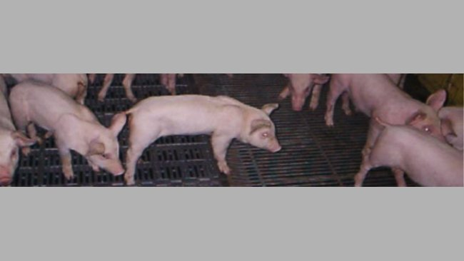 Anorexic piglets