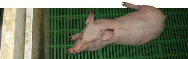 Piglet with advanced necroses on the tip of the ears complicated by a secondary infection.