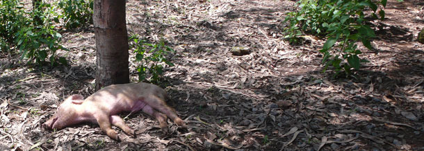 Dead pig thrown away without proper disposal