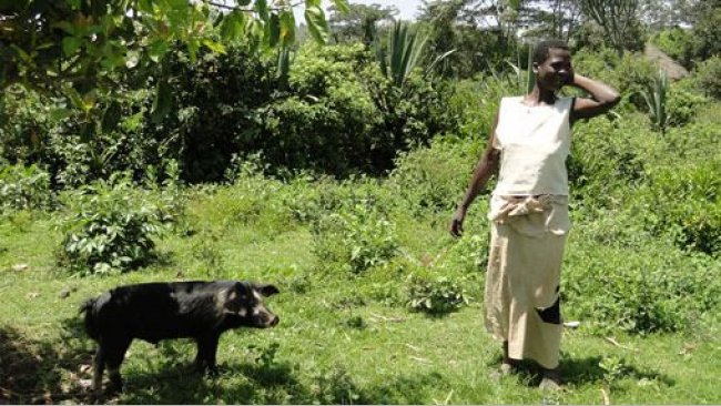 Free range pig tethered to a tree to avoid damage to nearby crops in Homa Bay, Kenia