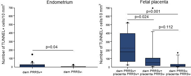 Quantification of apoptotic cells in the endometrium and placentae collected from dams inoculated with PRRSV at 90 days of gestation and non-inoculated ones