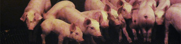 Heterogeneity of piglets at weaning