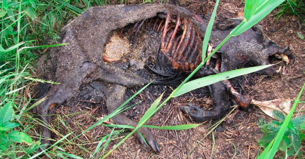 A carcass of a wild boar that was confirmed to die due to ASF