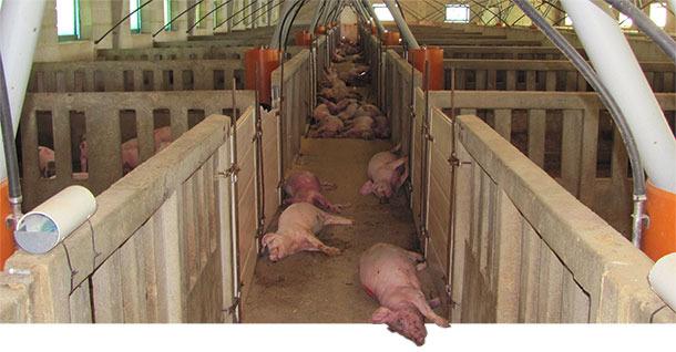 Dead pigs on the farm