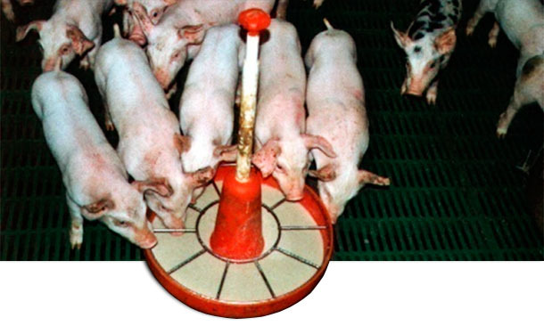 Weaned pigs: age and weight dispersion - Articles - pig333