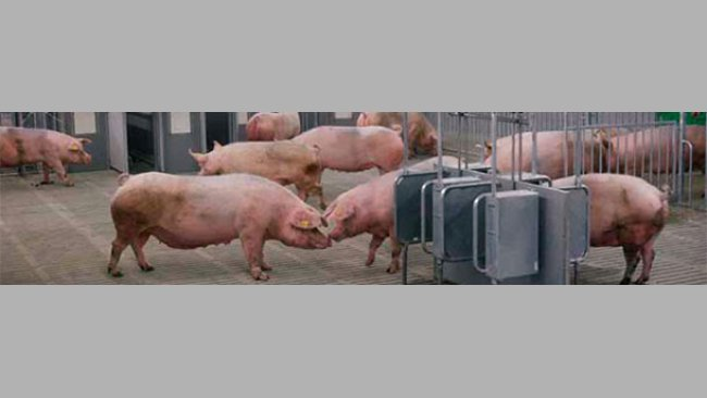 Feeding systems that predict the amount of energy supplied by feed have been developed in order to accurately formulate feeds for pigs
