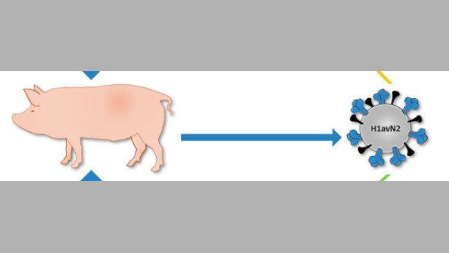 Origin of H1avN2 virus described in Denmark and France