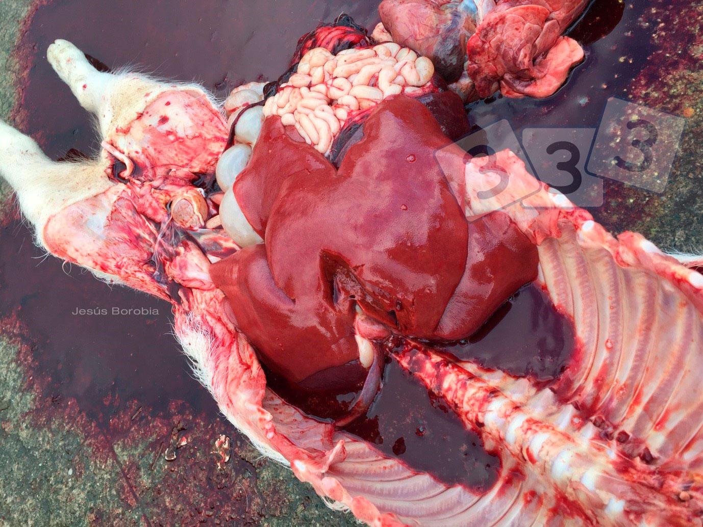 Hepatic Rupture Atlas Of Swine Pathology Pig333 Pig