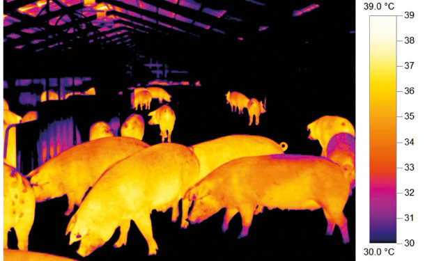 Thermal image of sows in group housing.