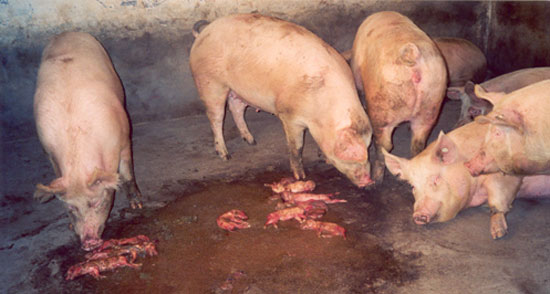 Pen with sows and their aborted piglets