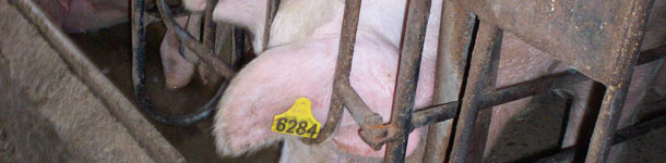 Knowing the sows' age